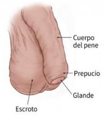 pene flacido sin ereccion